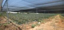 Moshav Agricole (Ouest Netanya) 28.000m²