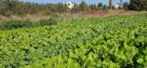 Terrain Agricole (Ouest Netanya) – 28.000 m²